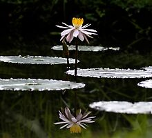 Lotus Lily by Normf