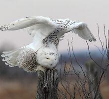 Energy Release/Snowy Owl by Gary Fairhead