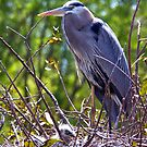Blue heron with chick by Bigart32