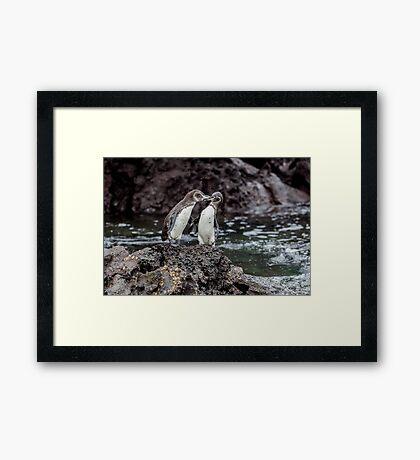 Galapagos Penguins Framed Print