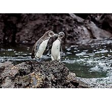 Galapagos Penguins Photographic Print