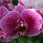 Orchid by Lauren Banks