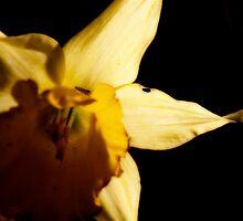 Daffodil Glow by Ashley Frechette