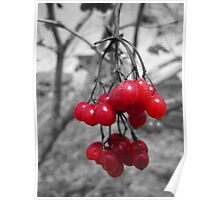 Red Clump of Berries Poster