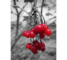 Red Clump of Berries Photographic Print