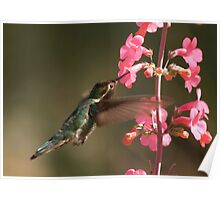 Anna's  Hummingbird with Perry's Penstemon  Poster