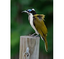 """Blue-faced Honeyeater"" Photographic Print"