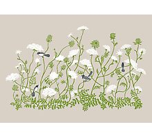 Queen Anne Lace Photographic Print