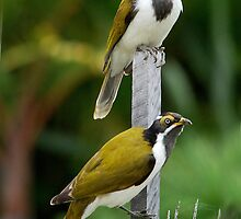 ''Blue-faced Honeyeaters'' by bowenite