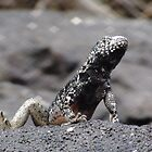 Galapagos Islands: Lava Lizard by tpfmiller