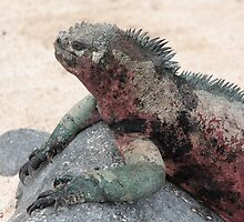 Galapagos Islands: Marine Iguana by tpfmiller