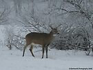 White-tailed Buck in Late Winter in Minnesota by Barberelli