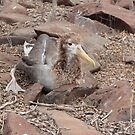 Galapagos Islands: Baby Waved Albatross by tpfmiller