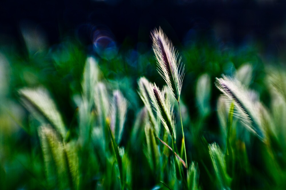out of blur wheat by Victor Bezrukov