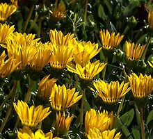 At home with Gazanias by Joy Watson