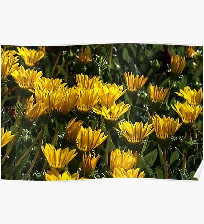 At home with Gazanias Poster
