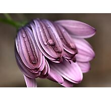 Daisy with Dew Drops Photographic Print