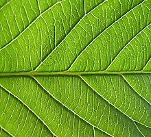 leaf close-up by anoopjoysury