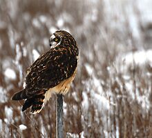 Short Eared Owl by BillCarlson