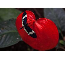 Butterfly on Red Leaf Photographic Print