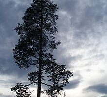 A Lonely Pine Tree by BeckyMP