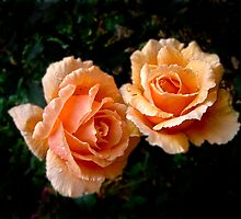 Two Apricot Roses by pennyswork