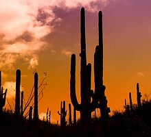 Saguaro Sunset - Print  by Mark Podger