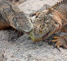 Galapagos Islands: Land Iguanas Fighting Over Cactus Fruit by tpfmiller