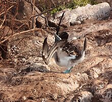 Galapagos Islands: Blue-footed Booby Mating Dance by tpfmiller