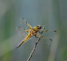 The Dragon Fly by jay007