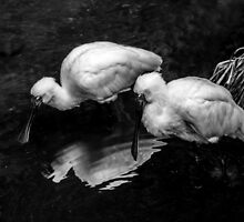 Royal Spoonbills. by Bette Devine