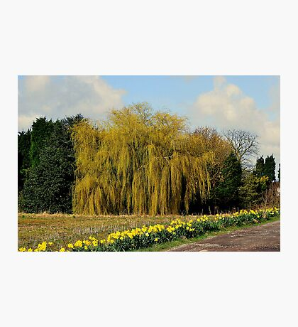 Willow & Daffodils Photographic Print