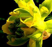 Daffodil by Maria1606