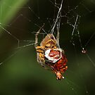 Bolivian Rainforest: Spider Wrapping Beetle by tpfmiller