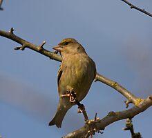 Female Greenfinch by Jon Lees