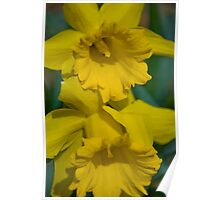 Pair of daffodils  Poster