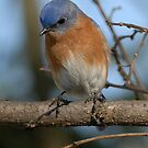 Eastern Bluebird by okcandids