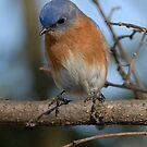 Eastern Bluebird by okcandids