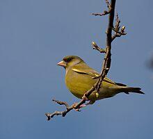 Male Greenfinch by Jon Lees