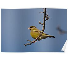 Male Greenfinch Poster