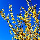 Forsythia's in bloom by Angela Bashline