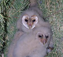 Baby Barn Owls by Rich Summers