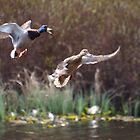 Ducks flying by Ryan Dronsfield