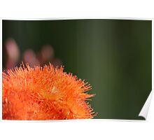 Orange Gum Blossom Poster