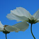 white flowers blue sky by Clare Colins
