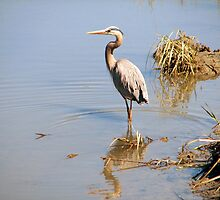 Great Blue Heron by Tibby Steedly