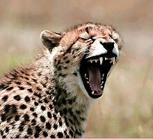 Cheetah - Photographed by Kevin Jeffery by Kevin Jeffery