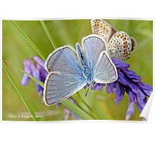 Amanda's Blue above and subsolana on vetch Poster