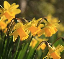Yellow Spring Daffodils by JHMimaging