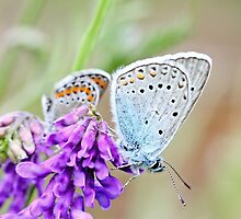 Amanda's Blue, plebejus amandus, with Idas Blue in background by pogomcl